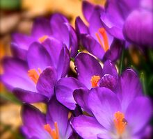 Art Of the Crocus 6 by NatureGreeting Cards ©ccwri
