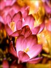 Art Of the Crocus 4 by NatureGreeting Cards ©ccwri