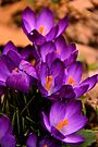 Art Of the Crocus 3 by NatureGreeting Cards ©ccwri