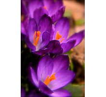 Art Of the Crocus 2 Photographic Print