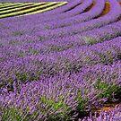 Lavender Rows - Bridestowe Estate, Tasmania by clickedbynic