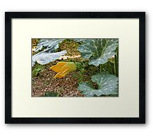 Pumpkin flower Framed Print
