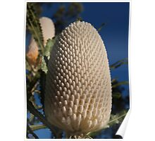 Banksia prionotes (3) Poster