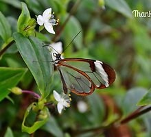 Glasswinged Butterfly Thank You Card by Paula J James