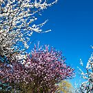 Spring blossoms by Adri  Padmos