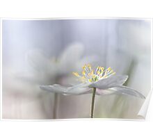 Addictive wood anemone.. Poster