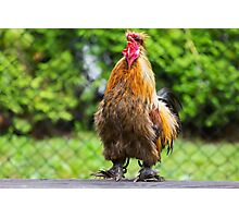 Rooster Crowing Photographic Print