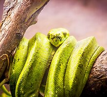 Green Tree Python by Patrycja Polechonska