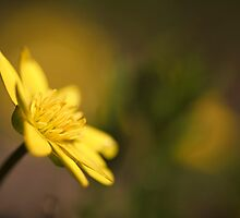 Buttercup by Peter Towle