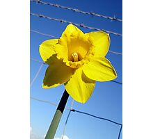 The Captive Daffodil Photographic Print