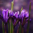 Iris Bokeh by KatMagic Photography