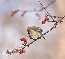 Cedar Waxwing Eating Berries 12 by Thomas Young