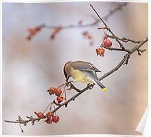 Cedar Waxwing Eating Berries 12 Poster