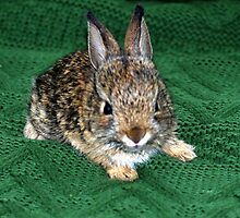 Here Comes Peter Cottontail by Carol Barona