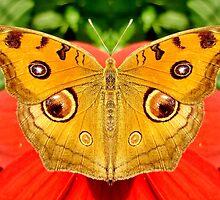 Meadow Argus Butterfly by Irfan Gillani