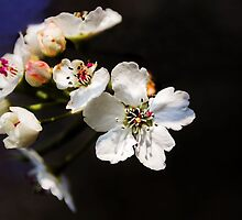 White Blossom by JEZ22