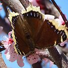 Butterfly on Blossoms by lorilee