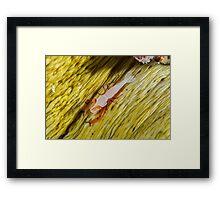 Emperor Shrimp Framed Print
