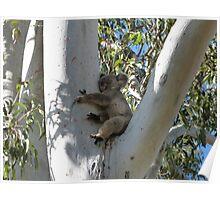 Koala Sleeping in a Tall Gum Tree Poster