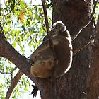 Sleeping Lazy Koala by FangFeatures