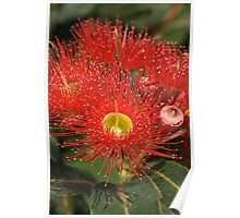 Eucalyptus flowers Poster