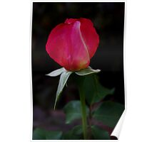 double delight rose bud Poster