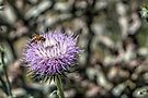 Thistle and Hungry Bee by Roger Passman