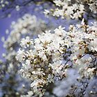 Blossoms of Spring by Delfino