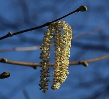 'Lamb's tails' - Hazel catkins by Rivendell7