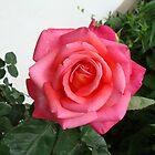 Rose #6 by Tehaya