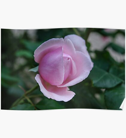 A Pink rose bud Poster