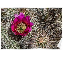 Hedgehog Cactus in Bloom Poster