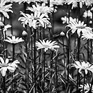 Black and White Daisies by Mary Carol Story