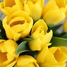 Yellow Tulips by kaitlyns-photos