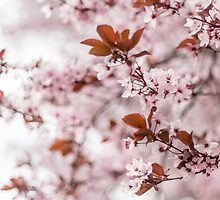 Spring Blossoms by Daniel Nahabedian