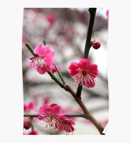 Japanese apricot tree Poster