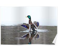 Ice Cold bath - Mallard in watercolor Poster