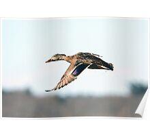 On painted wings - Mallard in flight Poster