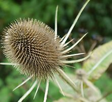 Teasel by Elly190712