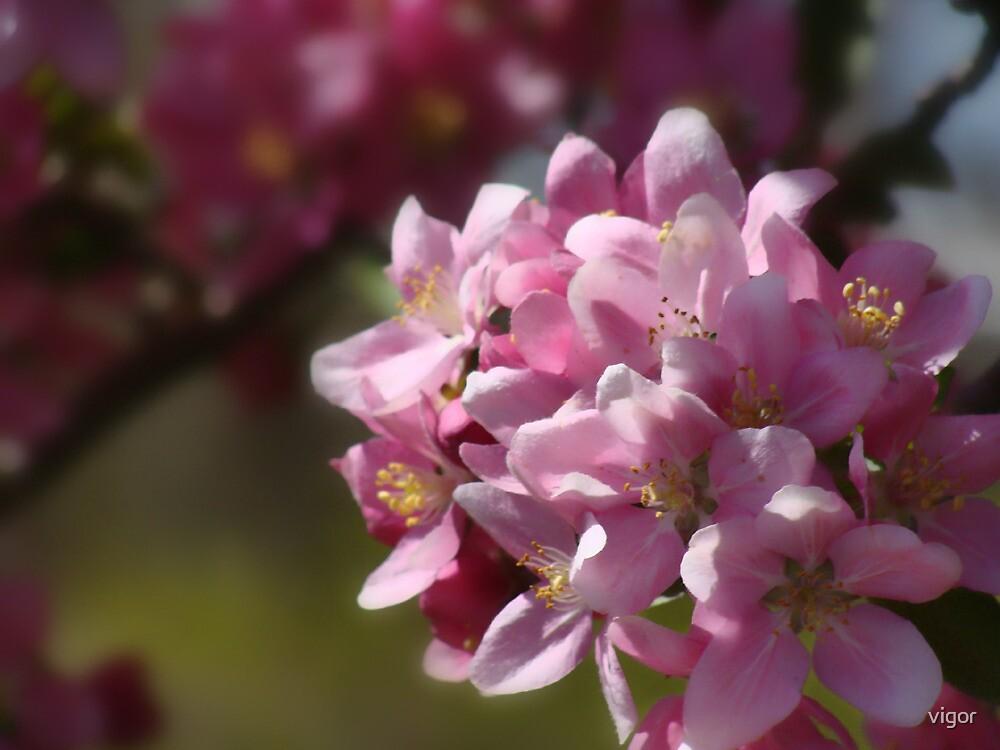 Cherry Blossoms by vigor