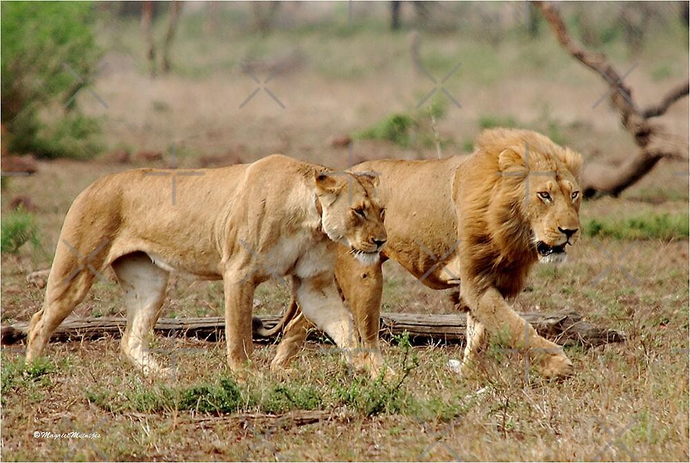 ON A MISSION - THE LION - Panthera leo - DIE LEEU by Magriet Meintjes