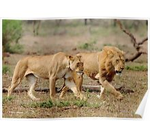 ON A MISSION - THE LION - Panthera leo - DIE LEEU Poster