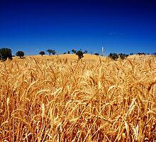 Wheat Field  by D-GaP