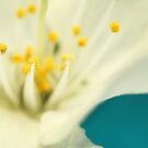 Blossom White Against Blue by Sharon Johnstone