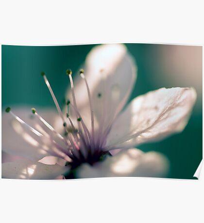 May Blossom at Sunset-2592 Poster