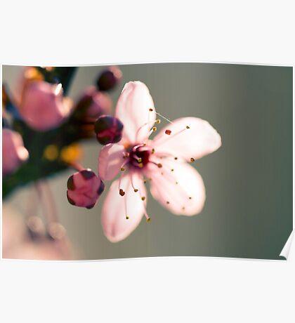 May Blossom at Sunset-2596 Poster