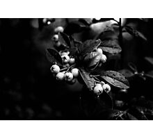 Cotoneaster Berries Photographic Print