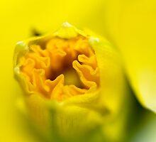 Daffodil-Emerging-2110 by KAREN COLEBECK