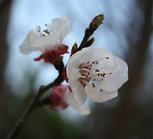 Close Up Apricot Blossom In Pastel Shades by taiche