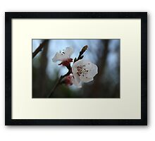 Close Up Apricot Blossom In Pastel Shades Framed Print